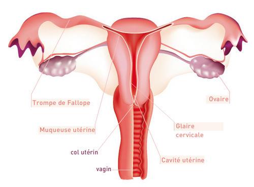 https://www.untibebe.com/wp-content/uploads/2013/07/appareil_genital-1-1-1.jpg