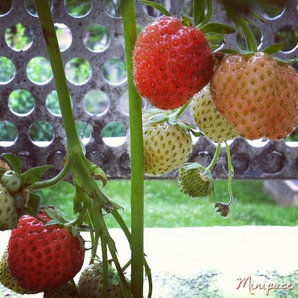fraises-rouges.jpg