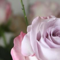 rose vieux