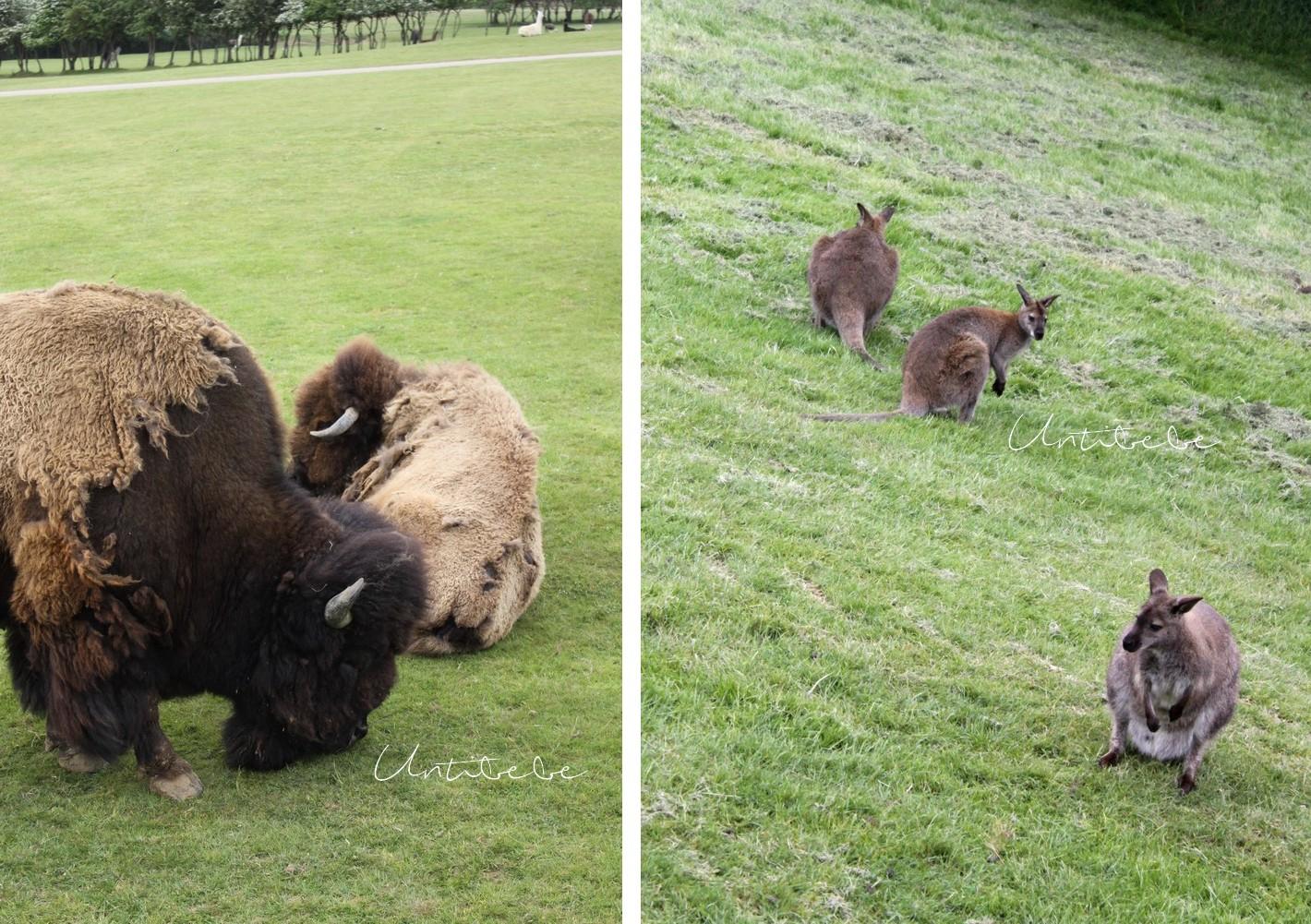 kangourou bison parc animalier planete sauvage