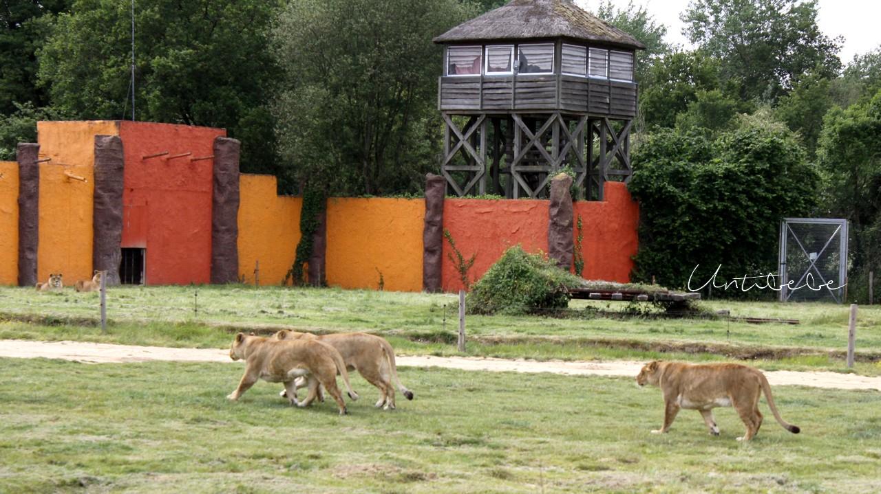 lionnes planete sauvage