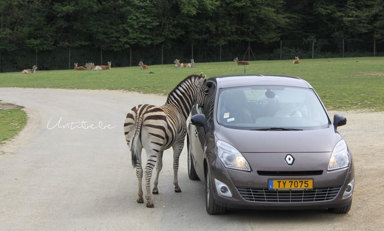 zebre voiture parc animalier