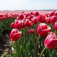 tulips-2635058_960_720